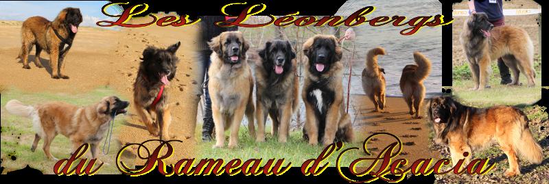 Les Léonbergs du Rameau d'Acacia